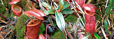 Field Guide to the Pitcher Plants of Australia and New Guinea