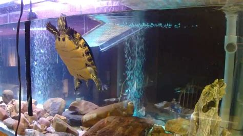 Turtle Introduced to New 200 Gallon (220 Technically) tank