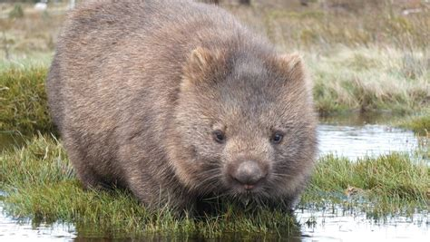 Watch out for wombats | Southern Highland News