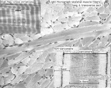 Muscle Ultrastructure