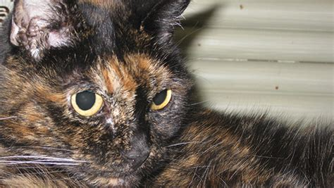 Tiffany Two, the world's oldest cat living passes away